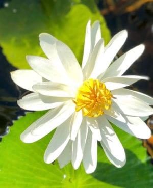 Trudy Slocum Waterlily