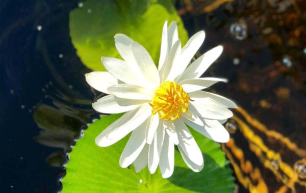 Trudy Slocum Waterlily