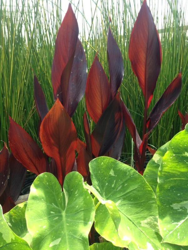 Red-leaf Canna