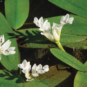 Aponogeton distachyus (Water Hawthorne)