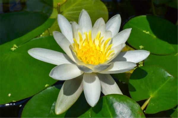 Albida Waterlily