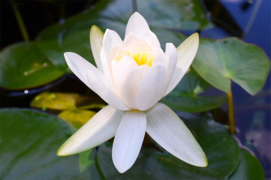 Albida Waterlily