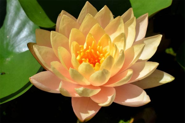 Clyde Ikins Waterlily