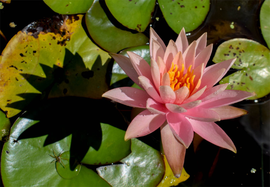 Colorado Waterlily