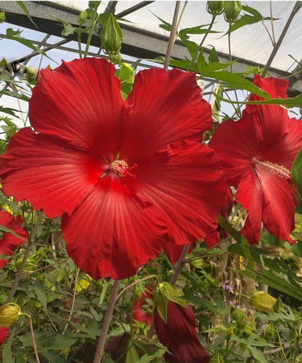 Fireball Hibiscus