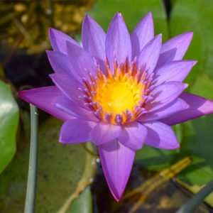 Nymphaea 'Panama Pacific'