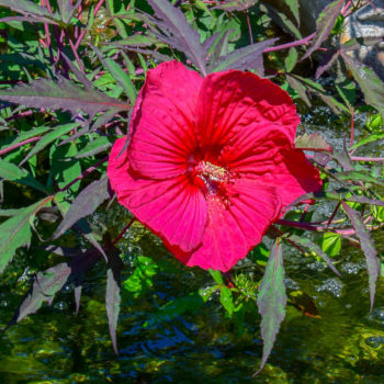 Hibiscus Pond