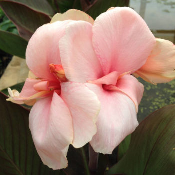 Canna Baby Girl Pink