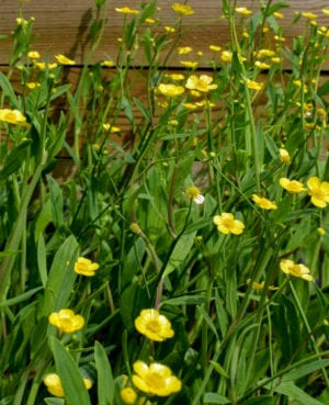 Miniature Spearwort