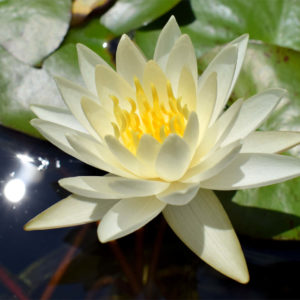 Moon Dance Waterlily