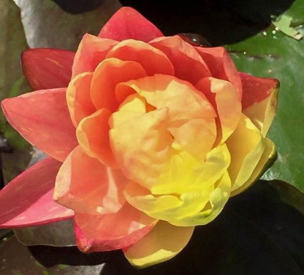 Wanvisa Hardy Waterlily