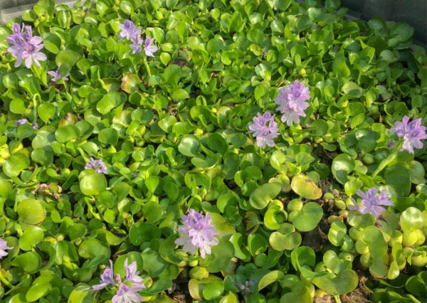 Water Hyacinths For Sale York PA