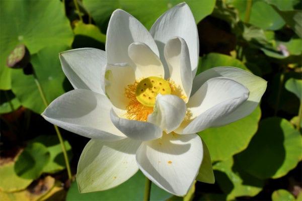 Alba Grandiflora Lotus