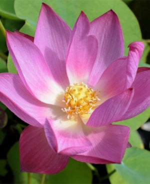 Rosy Clouds Lotus