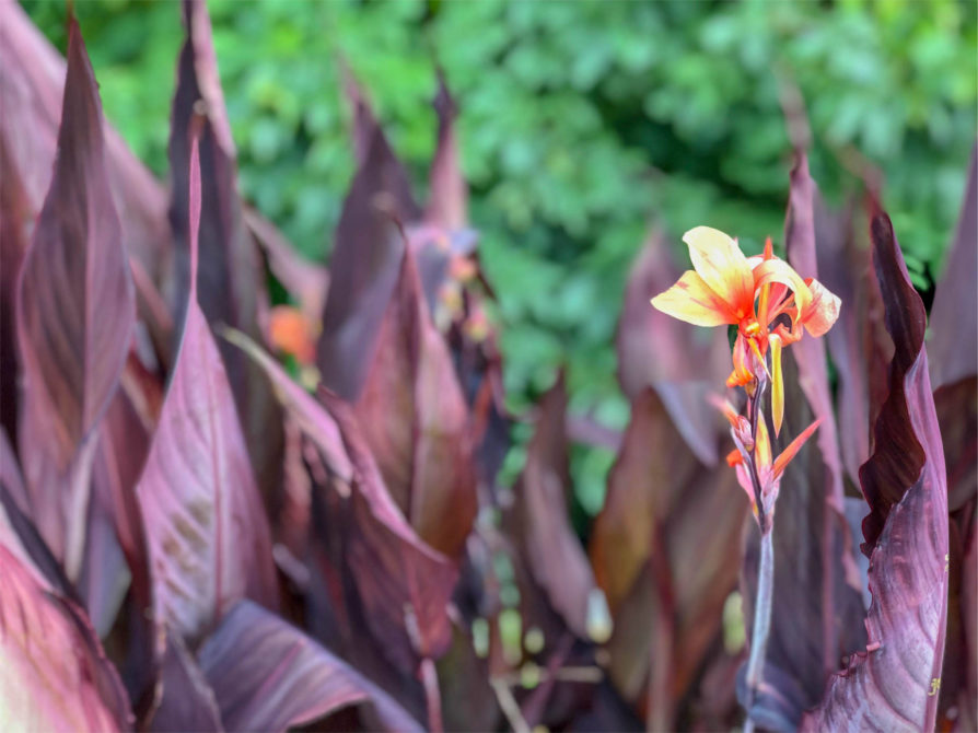 Intrigue Canna