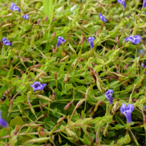 Blue Moneywort