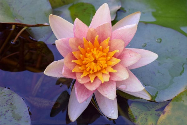 Comanche Hardy Waterlily