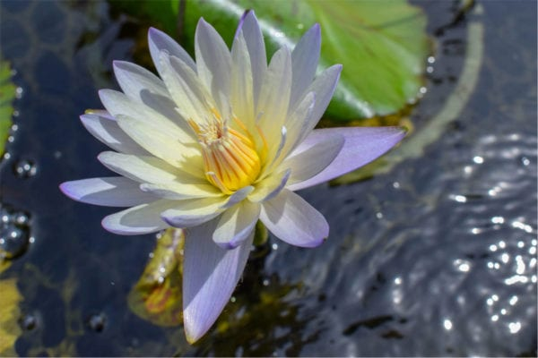 Green Smoke Tropical Waterlily