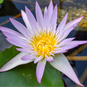 Madame Ganna Walska Tropical Waterlily