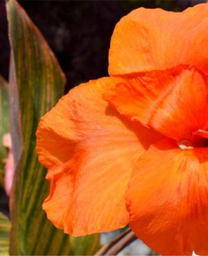 African Sunset Canna