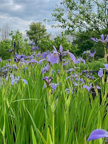 Blue Flag Iris Versicolor
