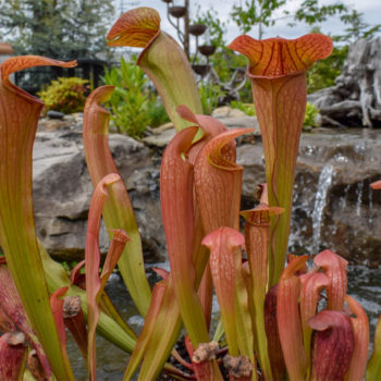 Bug Bat Pitcher Plant
