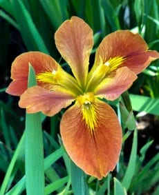 Copper Iris Fulva