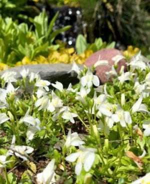 White Creeping Mazus
