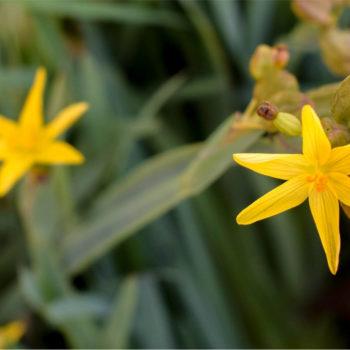 Yellow Eyed Grass