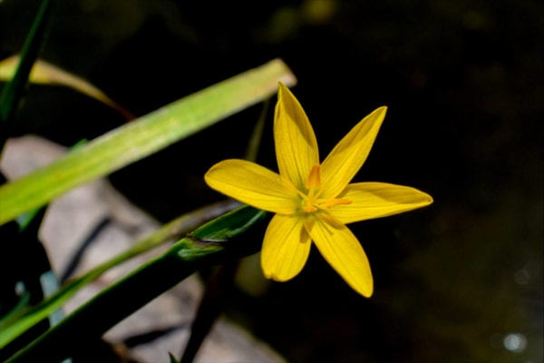 Yellow Eyed Grass