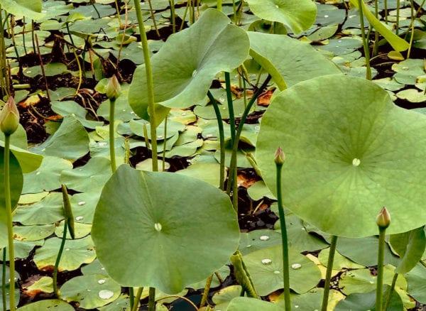 Lotus York PA