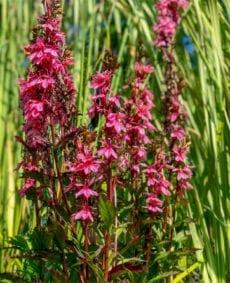 Pink Cardinal Flower