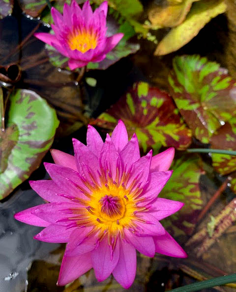 Queen of Siam Tropical Waterlily