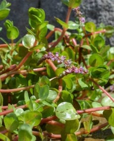 Red Rotala
