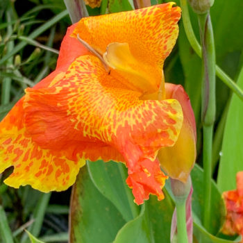 Orange King Humbert Canna